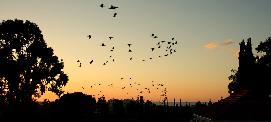 Many birds in flight at dusk