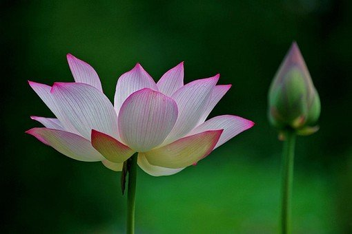 A Lotus flower and a bud