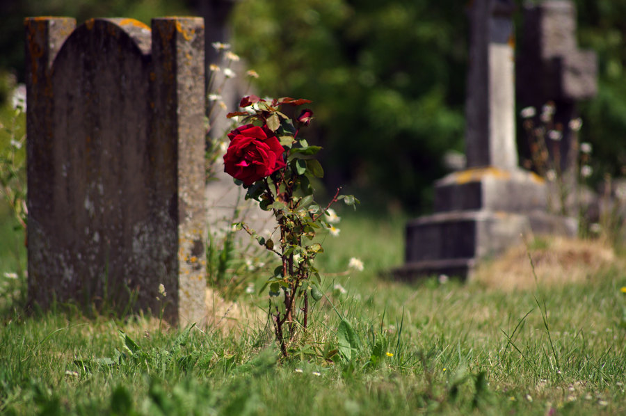Rose growing atop a grave